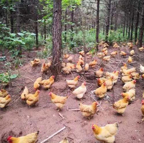【每周优品】绿色健康营养构树鸡,一定要试试