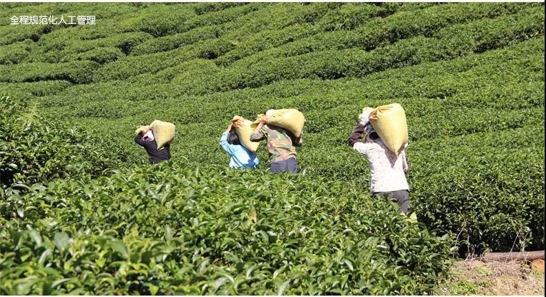 【每周优品】原始生态,自然有机——昭平县象棋山有机茶