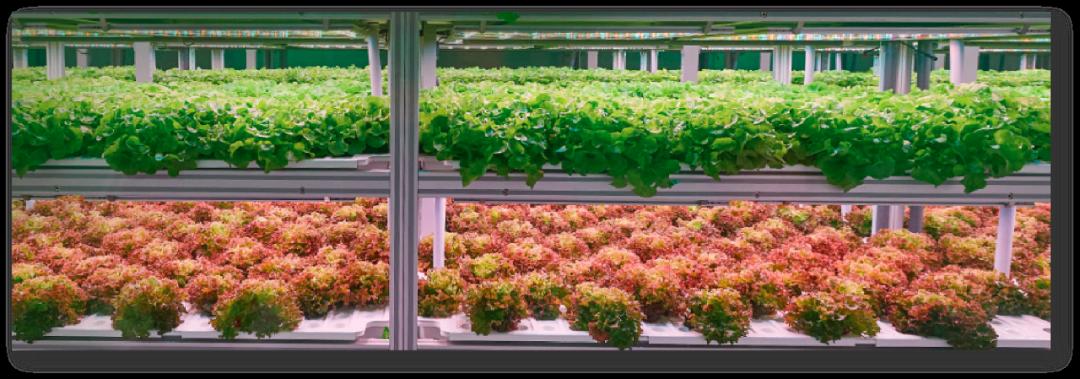 【每周优品】绿翌生菜——让每个人都能轻松地吃到健康无污染的蔬菜